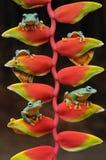 πετώντας βάτραχος, βάτραχοι, βάτραχος δέντρων, αμφίβια, ζώα, μακρο, μακρο φωτογραφία, ζωική φωτογραφία, φωτογραφίες ζώων, Rhacoph στοκ εικόνα