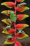 πετώντας βάτραχος, βάτραχοι, βάτραχος δέντρων, αμφίβια, ζώα, μακρο, μακρο φωτογραφία, ζωική φωτογραφία, φωτογραφίες ζώων, Rhacoph στοκ φωτογραφία με δικαίωμα ελεύθερης χρήσης