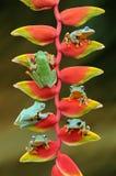 πετώντας βάτραχος, βάτραχοι, βάτραχος δέντρων, αμφίβια, ζώα, μακρο, μακρο φωτογραφία, ζωική φωτογραφία, φωτογραφίες ζώων, Rhacoph στοκ εικόνα με δικαίωμα ελεύθερης χρήσης