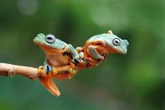 Πετώντας βάτραχος στον κλάδο, javan βάτραχος δέντρων, βάτραχος δέντρων Στοκ εικόνα με δικαίωμα ελεύθερης χρήσης