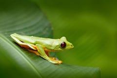 Πετώντας βάτραχος φύλλων, spurrelli Agalychnis, πράσινη συνεδρίαση βατράχων στα φύλλα, βάτραχος δέντρων στο βιότοπο φύσης, Corcov στοκ εικόνες