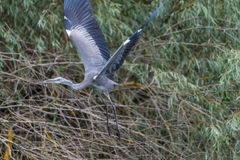 Πετώντας γκρίζο hiron Στοκ Φωτογραφίες