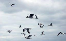 πετώντας γλάροι Στοκ Φωτογραφία