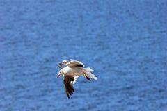 Πετώντας γλάρος δελφινιών, Νήσοι Φώκλαντ Στοκ Εικόνες