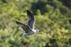 πετώντας γλάρος ελάχιστ&alpha Στοκ Εικόνα