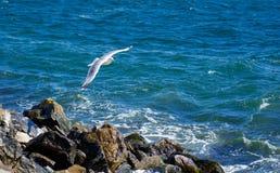 Πετώντας γλάρος στη δυτική ακτή στη Σουηδία Στοκ Εικόνες