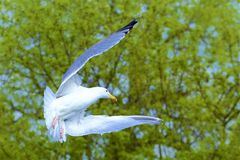 Πετώντας γλάρος στοκ φωτογραφία με δικαίωμα ελεύθερης χρήσης