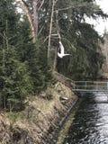 Πετώντας γλάρος Στοκ Εικόνες