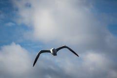 Πετώντας γλάρος Στοκ Εικόνα