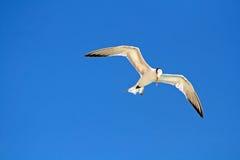πετώντας γλάρος Στοκ εικόνα με δικαίωμα ελεύθερης χρήσης