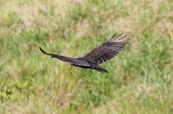 Πετώντας γύπας της Τουρκίας που ψάχνει το θήραμα, οδοκαθαριστής αναφερόμενος στα πτηνά στους ουρανούς της Κόστα Ρίκα στοκ εικόνες