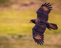 Πετώντας γύπας Στοκ εικόνα με δικαίωμα ελεύθερης χρήσης