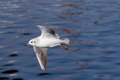 Πετώντας γλάρος ανωτέρω - νερό Στοκ Εικόνες