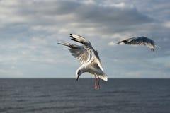 Πετώντας γλάρος γέλιου ή γλάρος στο μπλε ουρανό με τα άσπρα σύννεφα Piture που λαμβάνεται στην ακτή της θάλασσας της Βαλτικής στη Στοκ Εικόνες
