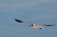 Πετώντας γλάρος με τον άσπρο και μαύρο χρωματισμό στον ουρανό Στοκ Φωτογραφίες