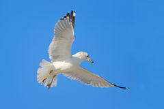 Πετώντας γλάρος με το μπλε ουρανό Πουλί στη μύγα με το μπλε ουρανό Δαχτυλίδι-τιμολογημένος γλάρος, delawarensis Larus, από τη Φλώ Στοκ Εικόνες