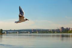 Πετώντας γλάρος πέρα από τον ποταμό Στοκ Εικόνες