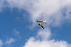 πετώντας γλάρος που διε&u Στοκ φωτογραφία με δικαίωμα ελεύθερης χρήσης