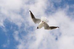 πετώντας γλάρος που διε&u Στοκ φωτογραφίες με δικαίωμα ελεύθερης χρήσης
