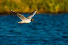 πετώντας γλάρος που διε&u Στοκ Εικόνα