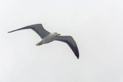 Πετώντας γλάρος σε ένα υπόβαθρο του άσπρος-γκρίζου ουρανού Στοκ Εικόνα
