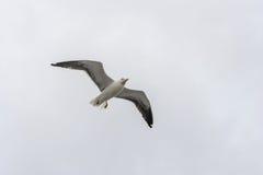 Πετώντας γλάρος σε ένα υπόβαθρο του άσπρος-γκρίζου ουρανού Στοκ Φωτογραφίες