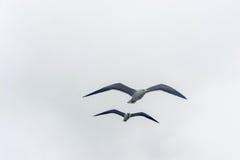 Πετώντας γλάρος σε ένα υπόβαθρο του άσπρος-γκρίζου ουρανού Στοκ φωτογραφίες με δικαίωμα ελεύθερης χρήσης