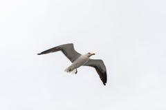 Πετώντας γλάρος σε ένα υπόβαθρο του άσπρος-γκρίζου ουρανού Στοκ Εικόνες