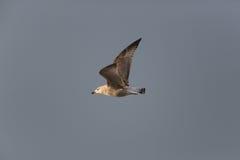 Πετώντας γλάρος στον ήλιο με το γκρίζο υπόβαθρο Στοκ φωτογραφία με δικαίωμα ελεύθερης χρήσης