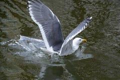 Πετώντας γλάρος Στοκ εικόνες με δικαίωμα ελεύθερης χρήσης
