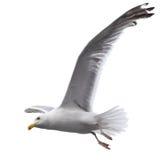 Πετώντας γλάρος Στοκ Φωτογραφία