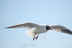 Πετώντας γλάρος (mew, seagull) Στοκ εικόνα με δικαίωμα ελεύθερης χρήσης