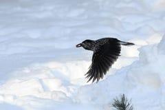Πετώντας επισημασμένος καρυοθραύστης με τα καρύδια επάνω από το χιόνι Στοκ Εικόνες