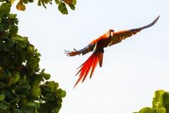 Πετώντας ερυθρό macaw, Ara Μακάο ή Arakanga Στοκ εικόνα με δικαίωμα ελεύθερης χρήσης