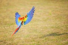 Πετώντας ερυθρό macaw - Ara Μακάο Στοκ Φωτογραφίες