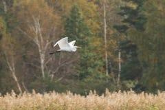 Πετώντας ερωδιός και χρωματισμένα φθινόπωρο δέντρα στο υπόβαθρο Στοκ εικόνες με δικαίωμα ελεύθερης χρήσης