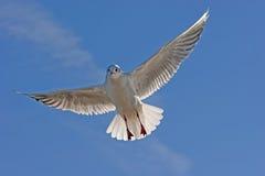πετώντας θάλασσα γλάρων Στοκ Εικόνα