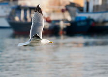 πετώντας θάλασσα γλάρων Στοκ Εικόνες