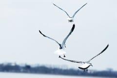 πετώντας θάλασσα γλάρων Στοκ εικόνες με δικαίωμα ελεύθερης χρήσης