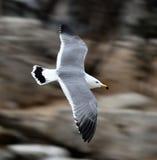 πετώντας θάλασσα γλάρων Στοκ εικόνα με δικαίωμα ελεύθερης χρήσης