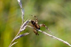 Πετώντας διαγώνια αράχνη Στοκ Εικόνες