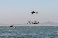 Πετώντας καφετιοί πελεκάνοι στον κόλπο του Σαν Φρανσίσκο στοκ φωτογραφία με δικαίωμα ελεύθερης χρήσης