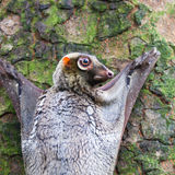 Πετώντας κερκοπίθηκος Sunda Στοκ φωτογραφίες με δικαίωμα ελεύθερης χρήσης