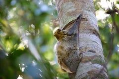 Πετώντας κερκοπίθηκος Sunda Στοκ Εικόνες