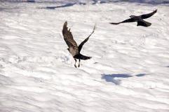 Πετώντας κοράκια Στοκ Εικόνες