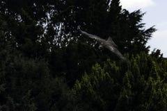 Πετώντας κόκκινοι ικτίνος/milvus Milvus πέρα από τα δέντρα στοκ φωτογραφία με δικαίωμα ελεύθερης χρήσης