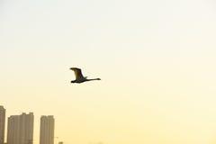 Πετώντας κύκνος και κτήρια Στοκ Φωτογραφίες