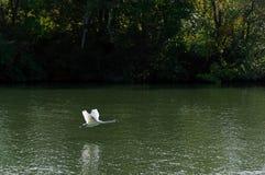 Πετώντας κύκνος και όχθεις ποταμού του Σηκουάνα Στοκ φωτογραφία με δικαίωμα ελεύθερης χρήσης