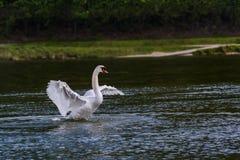 Πετώντας κύκνος πέρα από τον ποταμό Στοκ εικόνα με δικαίωμα ελεύθερης χρήσης