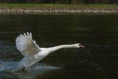 Πετώντας κύκνος πέρα από τον ποταμό Στοκ εικόνες με δικαίωμα ελεύθερης χρήσης